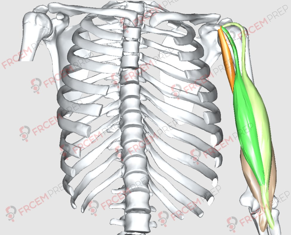 Biceps brachii origin insertions