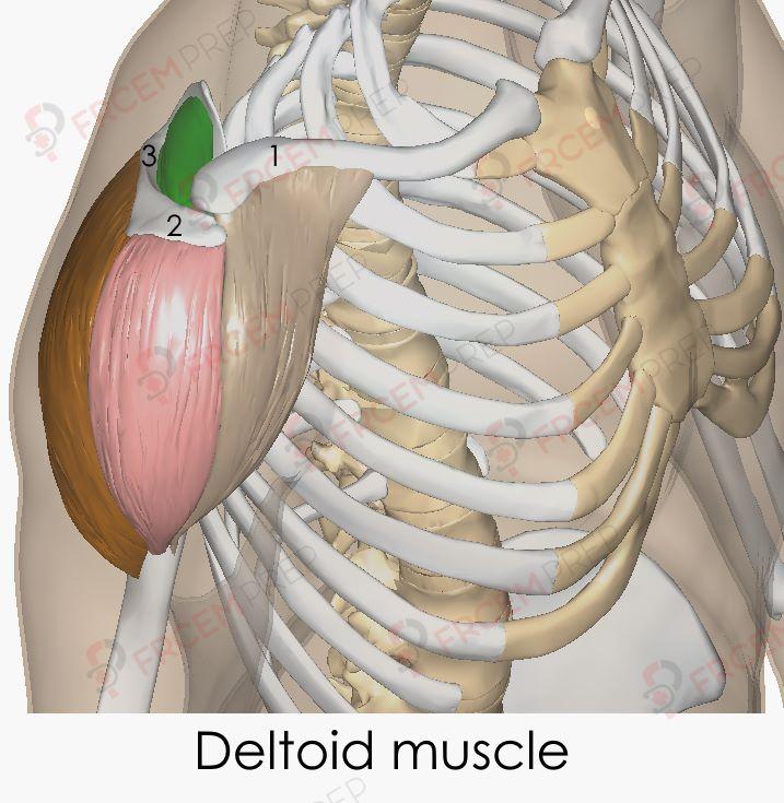 Deltoid muscle origin insertions